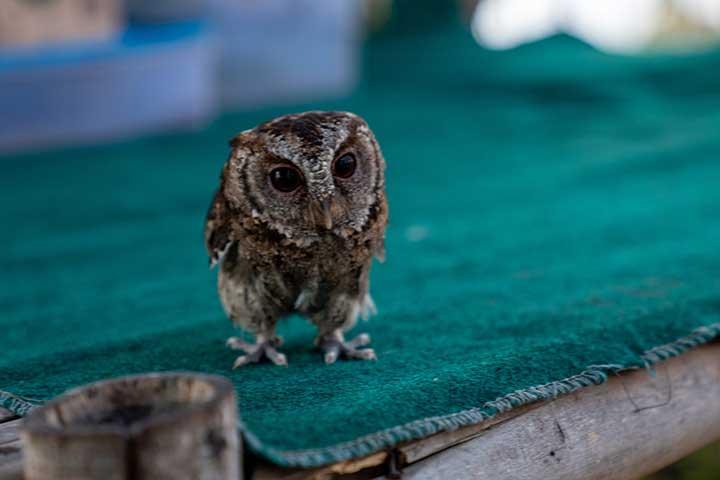 Owl, Munduk, Bali