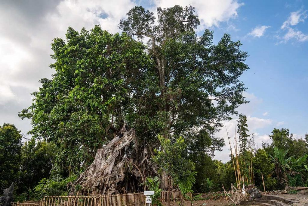 Giant banyan tree, Munduk, Bali