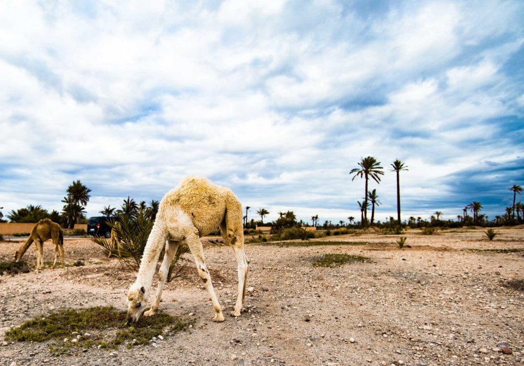 Baby camel, Palm Grove, Morocco