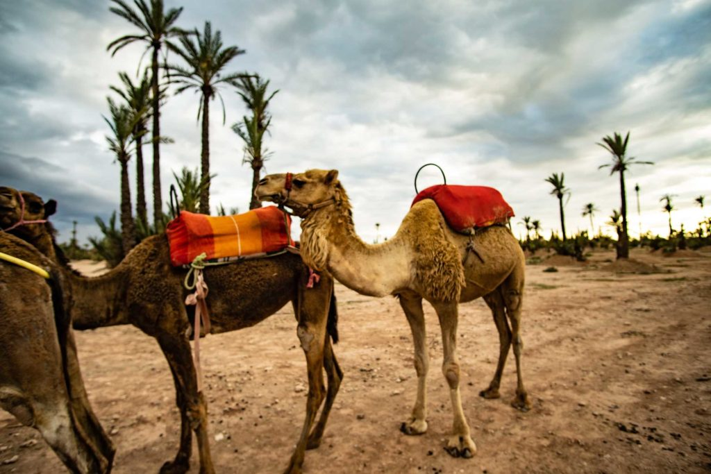 Camels at Palm Grove in Morocco
