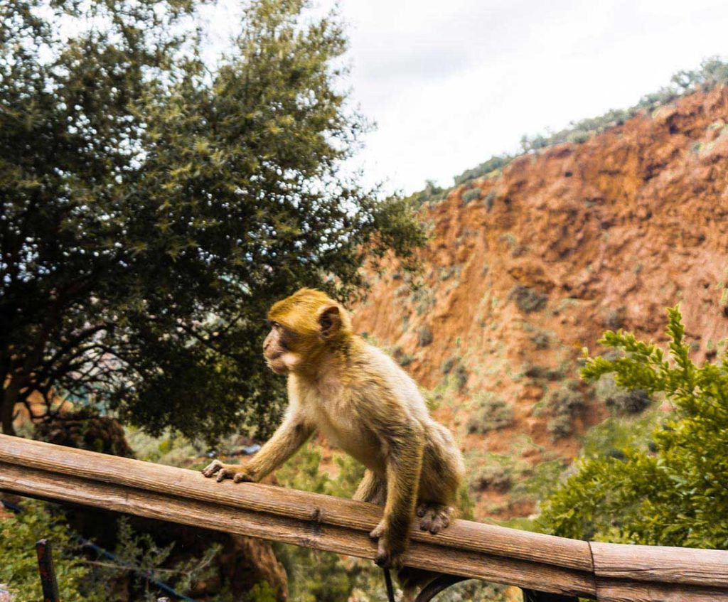 Monkey at Ouzoud Falls in Morocco