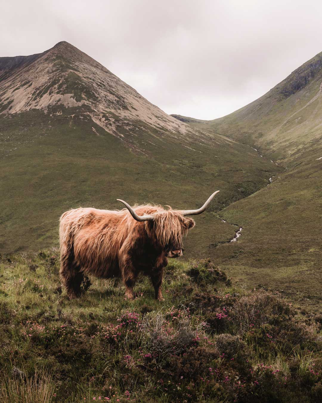 A Scottish highland cow in the Highlands of Scotland